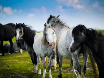 A herd of Welsh ponies